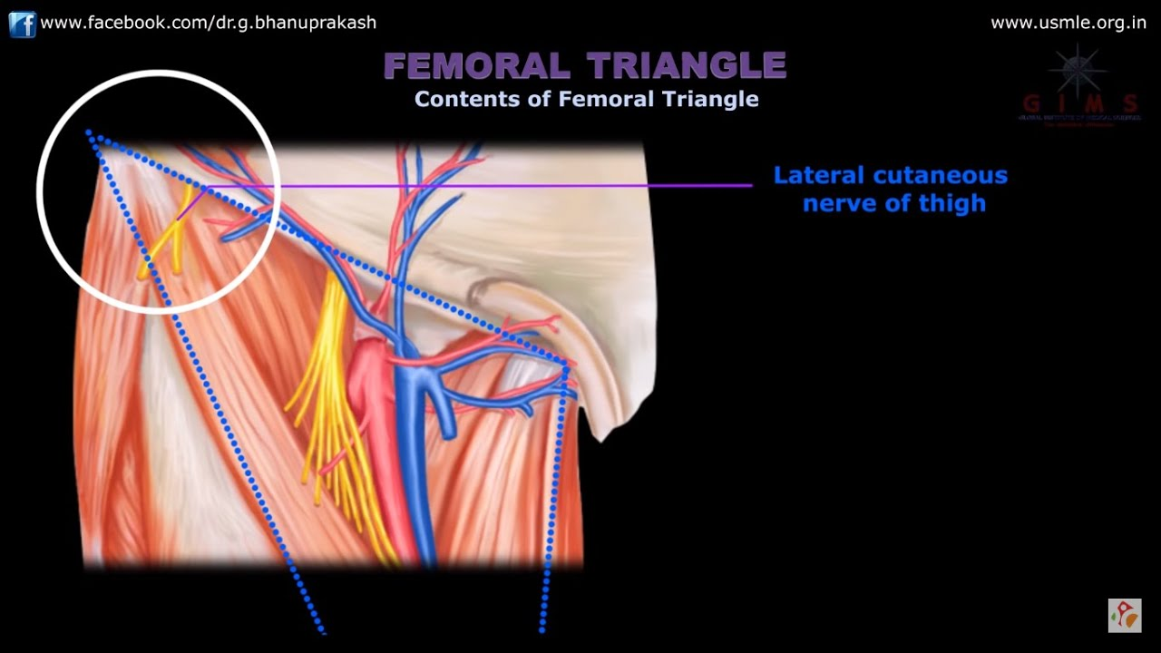 ANATOMY OF FEMORAL TRIANGLE , FEMORAL CANAL , FEMORAL SHEATH - YouTube