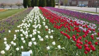 Holland, The Most Beautiful City in the World at Tulip Time