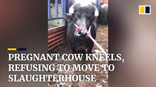 Pregnant cow kneels down, refusing to move to slaughterhouse in China