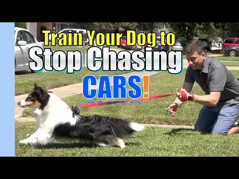 train-your-dog-to-stop-chasing-&-lunging-at-cars:-where-to-start