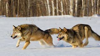 Изучаем животных с детьми. Все о волке для детей