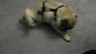 Pug Humping Floor With Harness