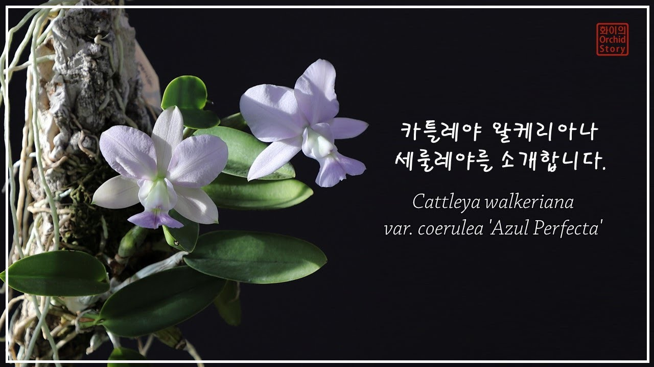 세룰레야 이야기│카틀레야 왈케리아나 세룰레야 '아줄 펄펙타' Cattleya walkeriana var. coerulea 'Azul Perfecta'