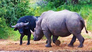 Rinoceronte Vs Bufalo | ¿quién Ganaría? | Epic Versus 🦏🆚️🐃