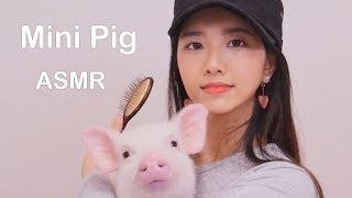 미니피그 빗질하는 소리 ASMR(mini pig Combing Sounds)[한국어 ASMR]불면증,수면유도,꿀꿀선아,suna asmr,핑돼,꿀꿀선아 미니돼지,