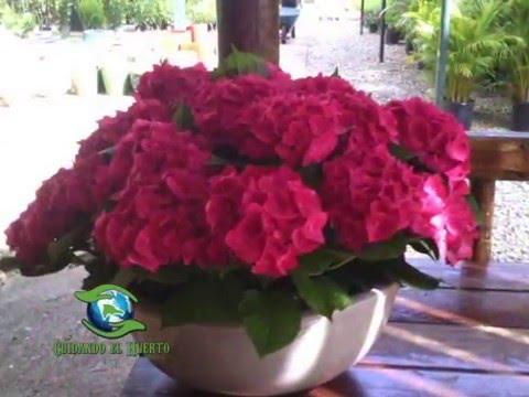 cuidando el huerto cuidado y plantas florescidas hortensias