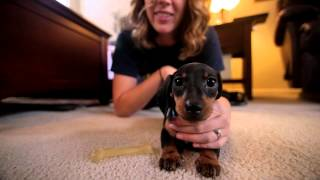 "Dachshund Puppy! Playing Games With ""bear"" (tokina 11-16 On Full Frame Canon 6d)"