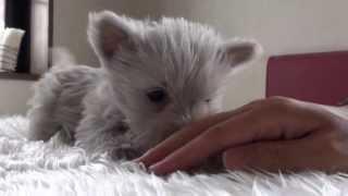 ウエスティーの子犬です。 とっても人なつっこくて可愛いですよ~(^O^) ...