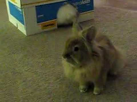 Brown and white lionhead rabbit - photo#34