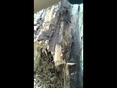 Săn ấu trùng bọ cánh cứng
