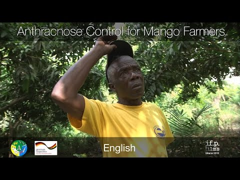 Anthracnose Control for Mango Farmers - Ghana