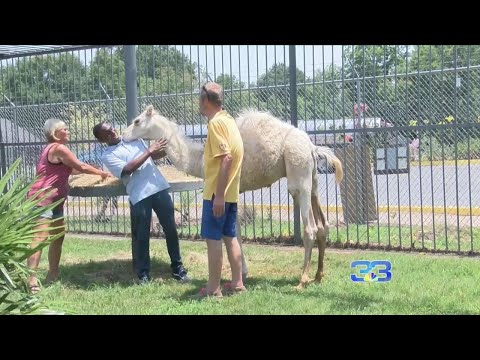 Woman bites camel 'in private area' at truck stop zoo, police say