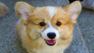 Vidéos des Corgi les plus marrantes