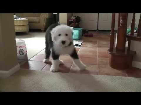 Cooper, Old English Sheepdog, 올드 잉글리쉬 쉽독, Play with me