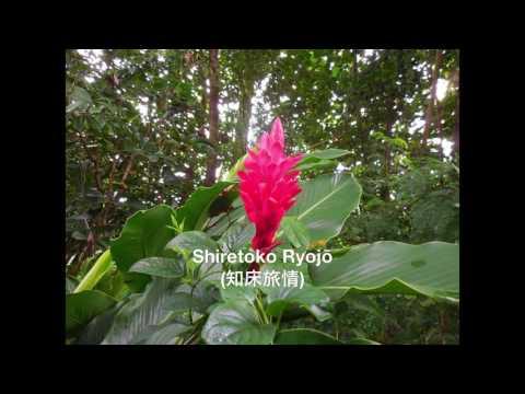 Mashiro (真白): Japanese Cover Of Shiretoko Love Song (Ryojō) By Hisaya Morishige