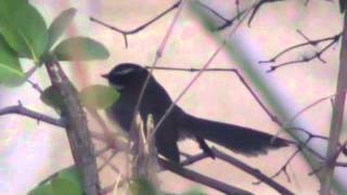 white-spotted fantail dances to male oriental magpie robin