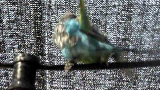 Horny Parrots Sex 2