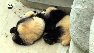 Two panda cubs hug outside the door
