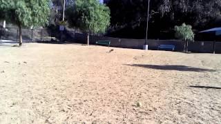 Gingersnap's first dog park adventure