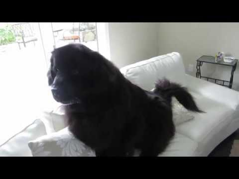 Newfoundland dog outsmarts owner