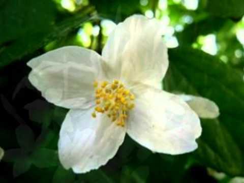 Kenny G Jasmine Flower Listen watch download and