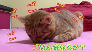 かわいい子猫が【ごめん寝】?しそうだったから撮り続けた結果面白かったw