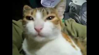 Gatto che dice