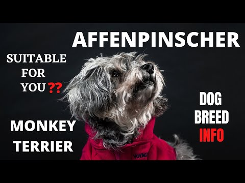 Affenpinscher Dog Breed | Monkey Terrier | Daily Pet's
