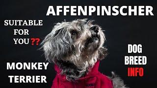 Affenpinscher Dog Breed | Monkey Terrier | Daily Pet's
