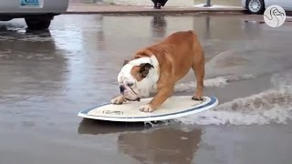 The Skateboarding Bulldog Goes For His Final Ride