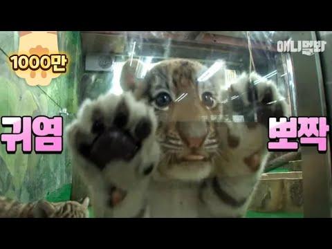 그만 커도 될 것 같다♡ ㅣ Come. Tiger Gives You High Five Bruh