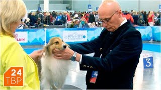 Шелти – маленькая собака большой красоты | Элита | ТВР24 | Сергиев Посад