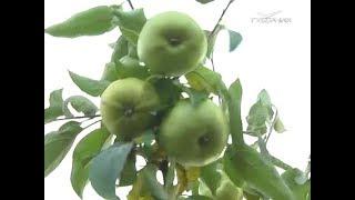 Какие сорта зимних яблок подойдут для Самарской области. Удачные заметки от 16.10.2018