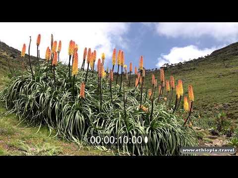Ethiopia - Simien Helicrhysum flower