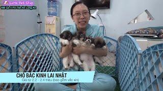 Chó con dễ thương Rã bầy Bắc Kİnh ląi Nhật giá rẻ tại L๐Ha Pęt Shop