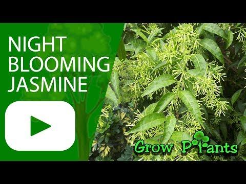 night-blooming-jasmine---grow-&-care-(cestrum-nocturnum)