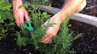 Harvesting Rosemary with Kip, Scotts Associate