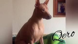 Qero Перуанская голая собака