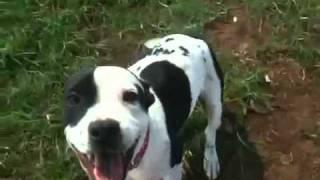 Remy Staffy Rescue Nsw 2011