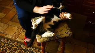 Кошка Томка. Чрезмерное вылизывание. Одеваем защитный воротник.