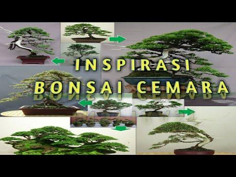 inspirasi-bonsai-cemara-new-||-terbaik-2021