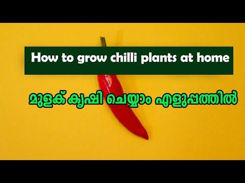 Chilli Cultivation Easy Metherd, മുളക് കൃഷി ചെയ്യാം എളുപ്പം