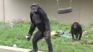 円山動物園のチンパンジー、ガチャ(メス) 1966年生まれ(推定)の推定45...