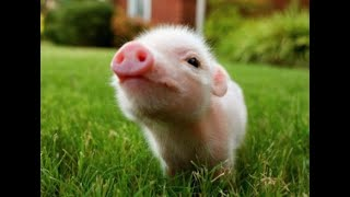 What the Pigs Taught Me