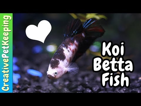 How To Condition Betta Fish For Breeding/Spawning