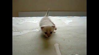 Первые шаги тайского котенка! Смотреть всем! Тайские кошки - это чудо! Funny Cats