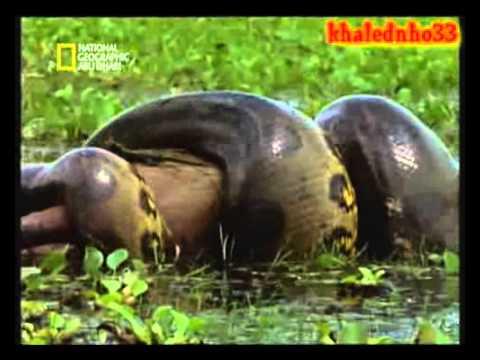 Giant anaconda أفعى الاناكوندا العملاقة { سبحان الله | Doovi