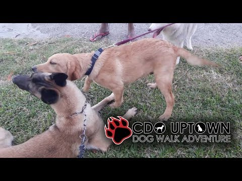 Belgian Malinois meeting two puppies as a new members in the Pack