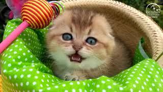Шотландским котятам 1,5 месяца