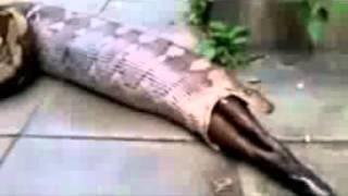 Ecco cosa hanno trovato nello stomaco di questo enorme serpente